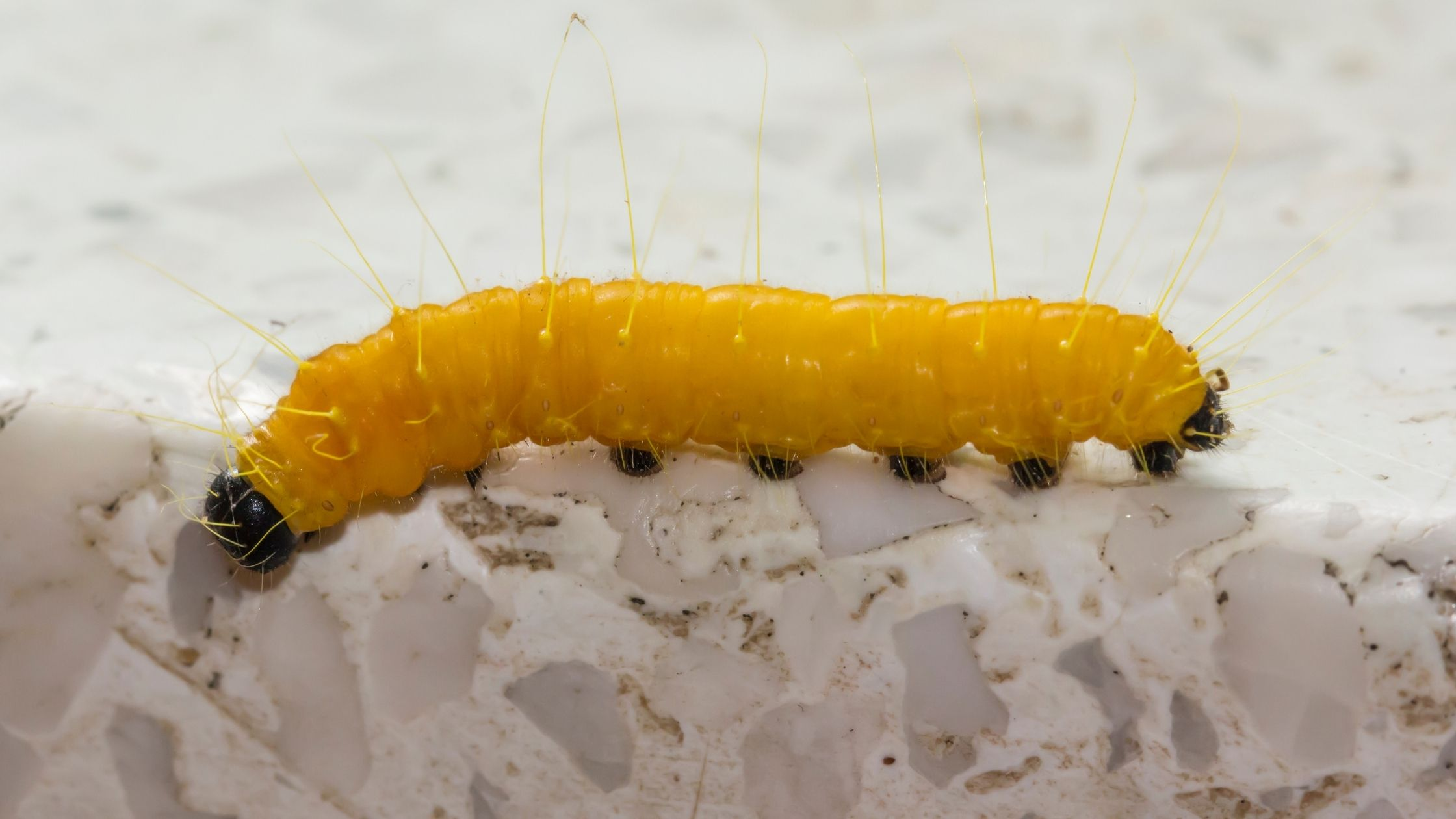 Types of Fishing Worms: Butterworms