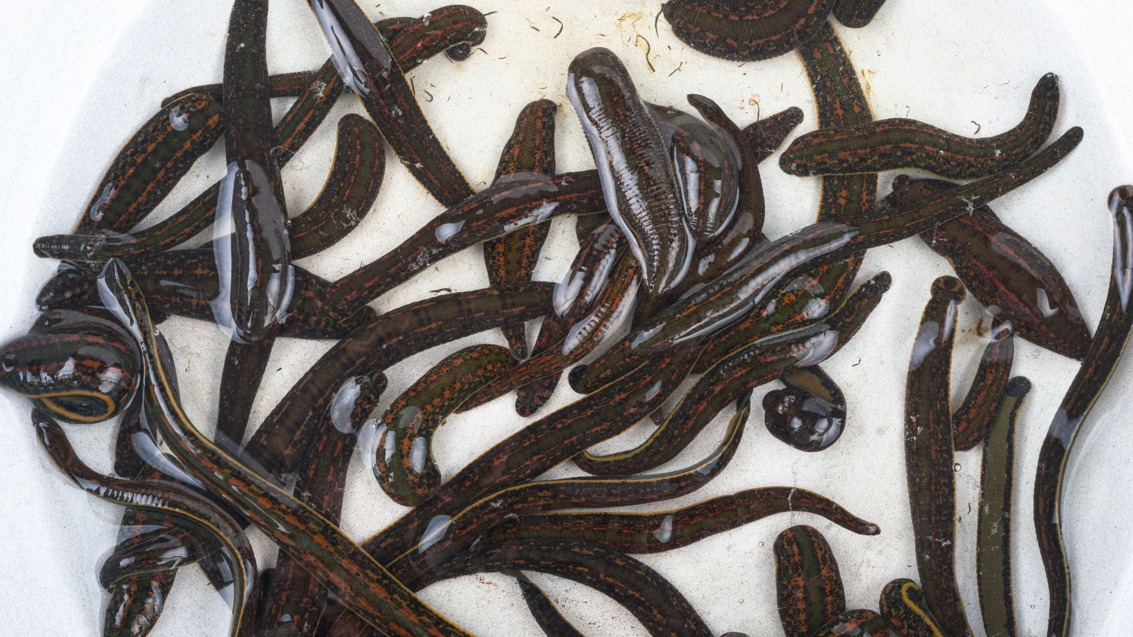 Types of Fishing Worms: Leeches