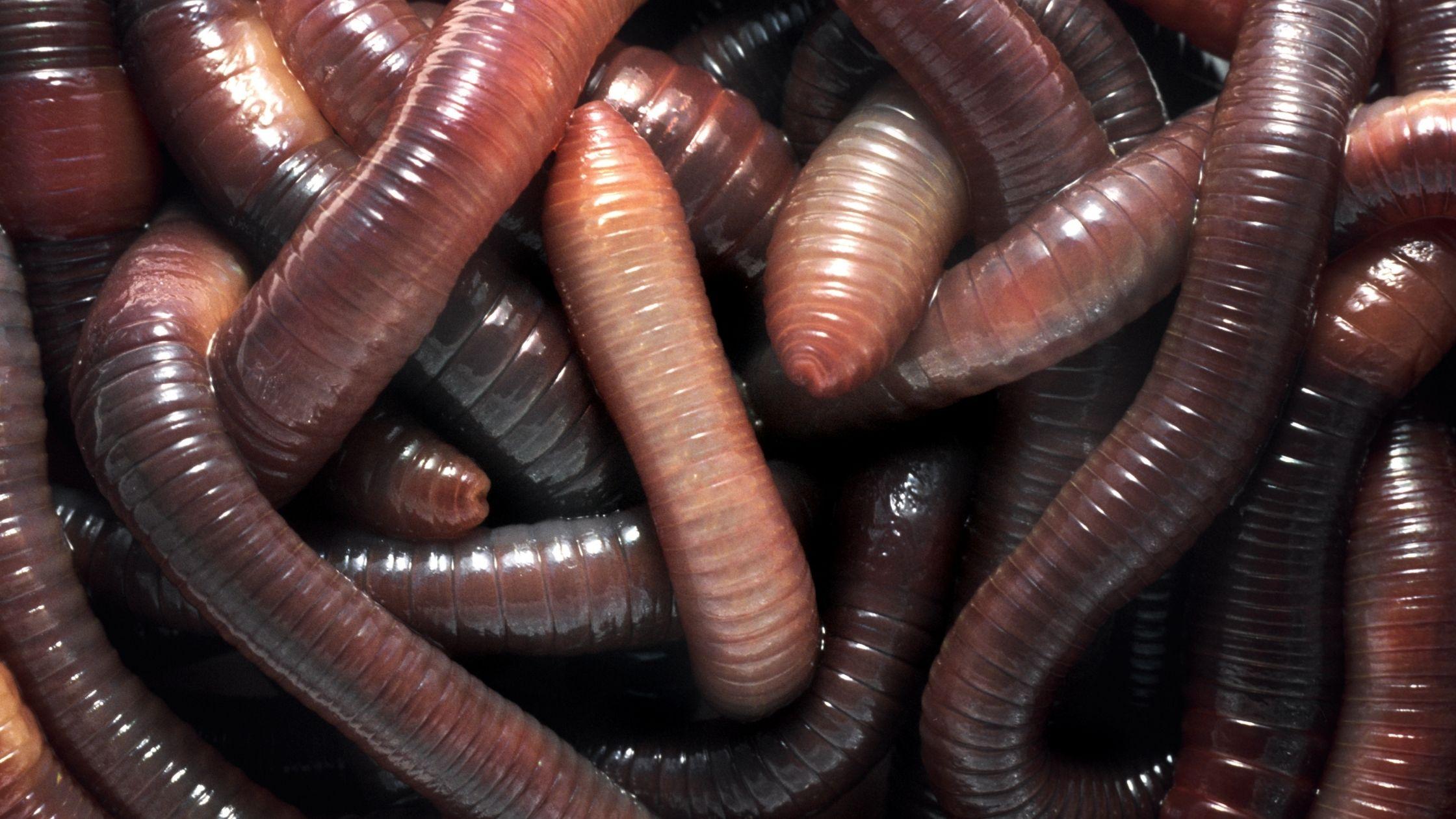Types of Fishing Worms: Nightcrawler Fishing Worms
